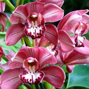 orhidee-salbatica